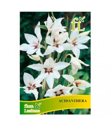 Sementes de Flor Acidanthera