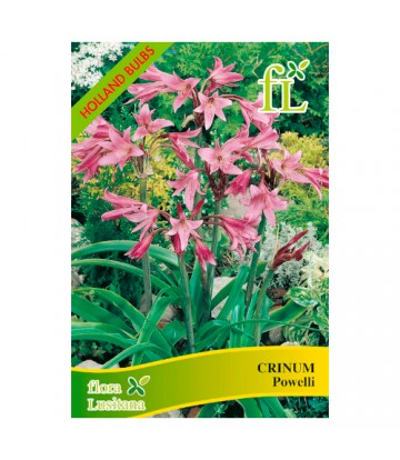 Sementes de Flor Crinum